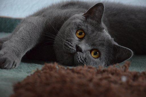 koty brytyjskie na sprzedaż